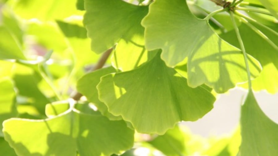 The Amazing Health Benefits of Ginkgo Biloba