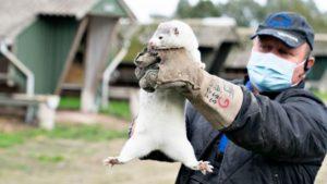 Fur Trades and Pandemics: Coronavirus and Denmark's Great Mink Massacre